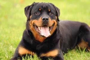 assurance pour chien dangereux