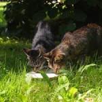 photo de deux chats chartreux