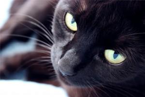 le virus du sida des chats est un réel danger