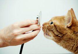Stérilisation chatte